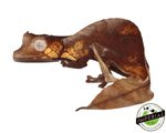 satanic leaf tail gecko for sale, buy reptiles online