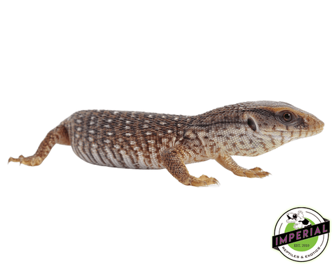 savannah monitor lizard for sale, buy reptiles online