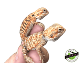 silkback bearded dragon for sale, buy reptiles online