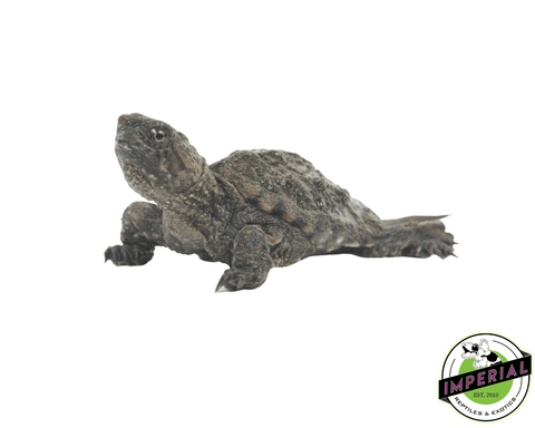 common snapping turtle for sale, buy reptiles online