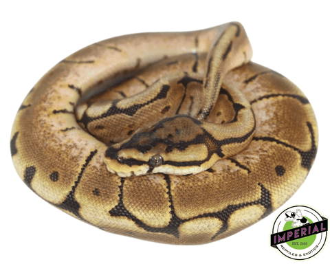 spider ball python for sale, buy reptiles online