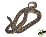 spotted python for sale, buy reptiles online