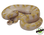 super pastel yellowbelly ball python for sale, buy reptiles online