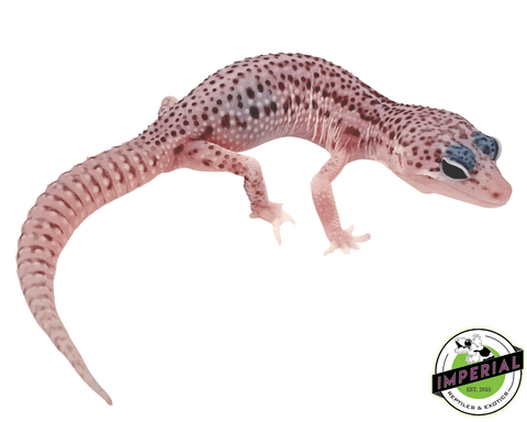 super snow leopard gecko for sale, buy reptiles online