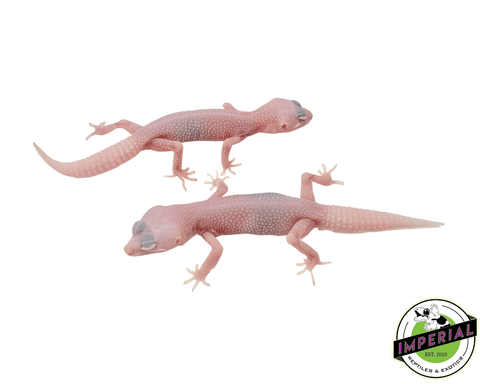 super snow albino patternless leopard gecko for sale, buy reptiles online