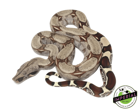 suriname true red tail boa constrictor for sale, buy reptiles online