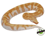 T negative albino blood python for sale, buy reptiles online