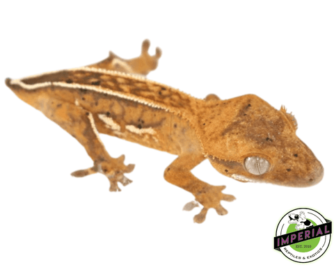 High End (Tailless)  Crested Gecko Baby
