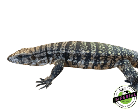 titanium x chacoan tegu for sale, buy reptiles online