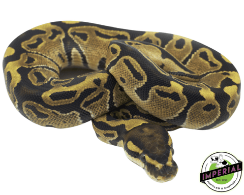 vanilla ball python for sale, buy reptiles online