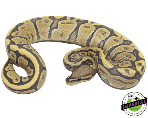 vanilla ghost ball python for sale, buy reptiles online