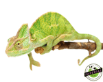veiled chameleon for sale, buy reptiles online