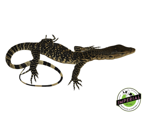 water monitor lizard for sale, buy reptiles online