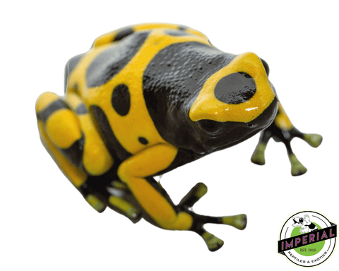 yellow banded poison dart frog for sale, buy amphibians online