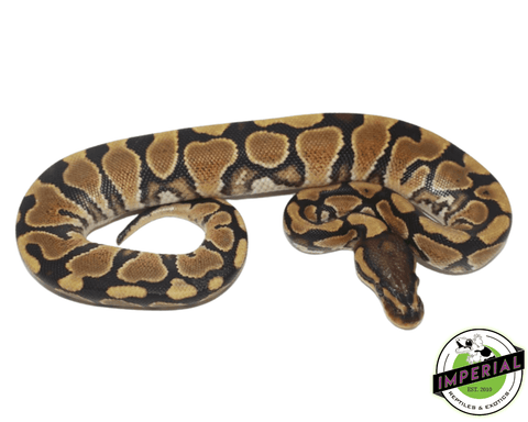 yellowbelly ball python for sale, buy reptiles online
