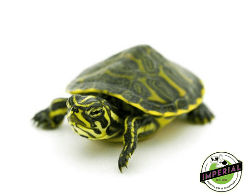 Peninsula cooter slider turtle for sale, buy reptiles online