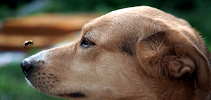 What To Do If A Dog Is Stung Or Goes Into Anaphylactic Shock