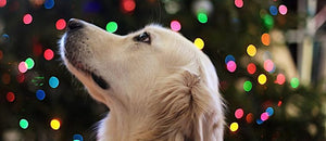Christmas Foods That Are Dangerous For Dogs