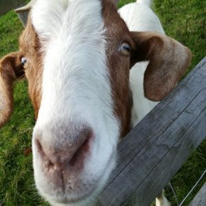 Friendly goat at Ullacombe Farm