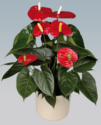Indoor Plants for your home - Anthuriums