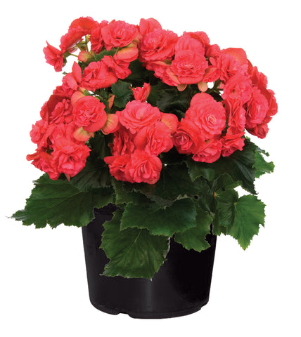 Inddor Plants for your home - Begonia