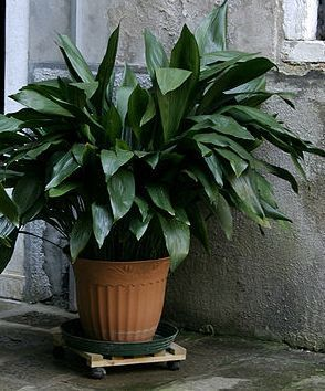 Indoor Plants good for your home - Cast Iron Plant