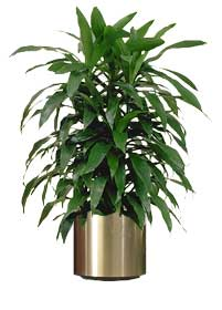 Indoor Plants that are good for your home - Dracaena