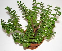 Indoor Plants for your Home - Jade Plant