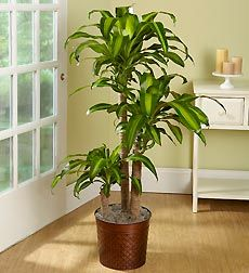Inddor plants for your home - Massangeana Cane