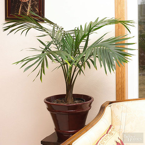 Indoor Plants for your home - Parlor Palms