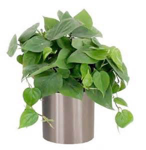 Indoor Plants for your home - Philodendrons