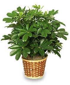 Indoor plants good for your home - Schefflera