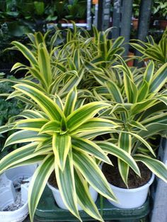 Indoor Plants good for your home - Song of India (a.k.a. Dracaena reflexa)