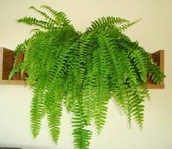 Indoor Plants good for your home - Boston Fern