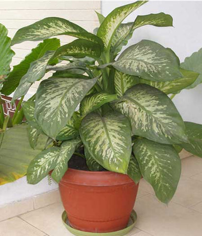 Indoor Plants for your home  - Dieffenbachia