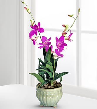 Indoor Plants for your home - Orchid