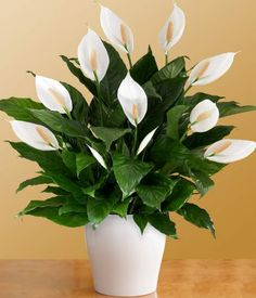 Indoor Plants good for your home - Peace lily