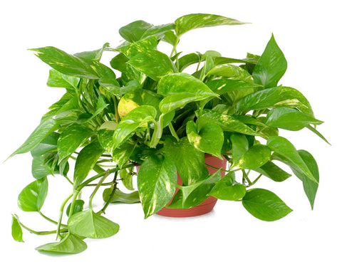 Indoor Plants good for your home - Pothos