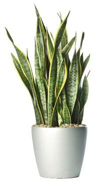 Indoor Plants for your home - Mother In Laws Tongue
