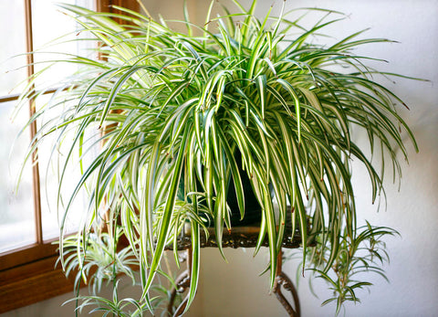 Indoor Plants for your home - Spider Plant