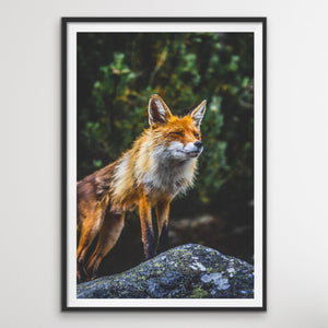 Crafty Fox - Canvas and Paper Print Photographic Fox Wall Art Print I Heart Wall Art Australia