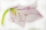 "PRT0039 - ""Pink Lily"" Framed Art Print By Artist Ernst Zundel Collectible"