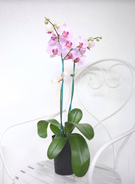 Phalaenopsis Orchid (Large Double Stem)