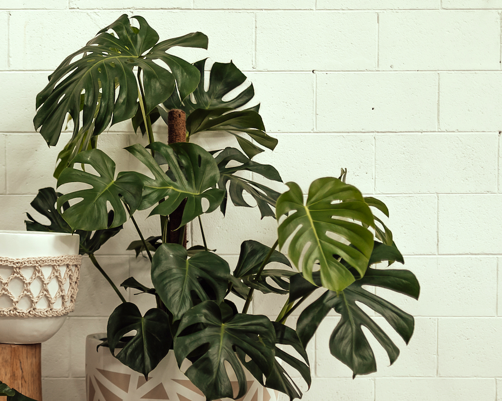 7 Expert Tips To Take Care Of Your Monstera Deliciosa Indoor Plant