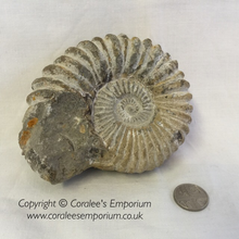 Load image into Gallery viewer, Fossil:- Genuine Unpolished Ammonite - 65 Million years old