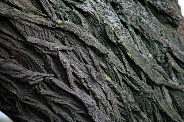 Black Willow Bark