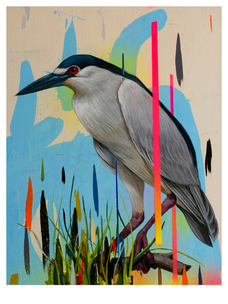 """Black Crowned Night Heron"""