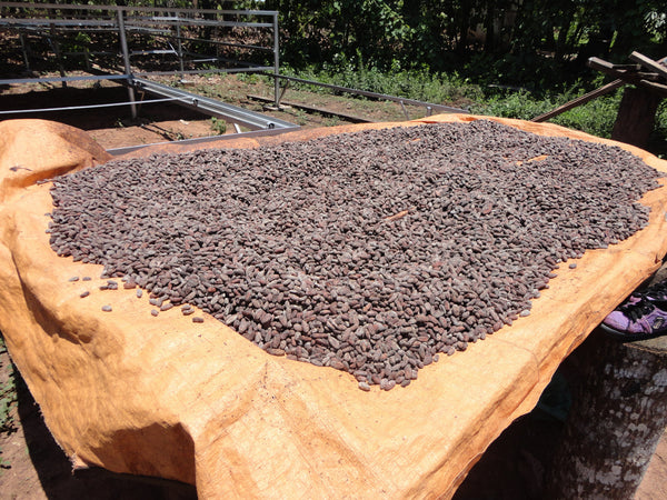Bolivian Heirloom (Alto Beni & Beni regions) Unroasted Cacao Beans. Past Crop. Availabele only in MA. NEW LOWER PRICE!