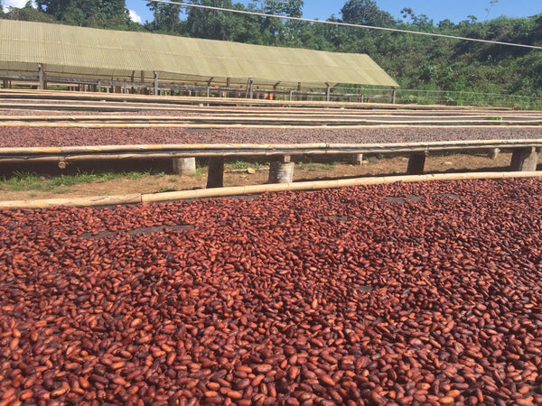 "Bolivia Organic Improved ""Walikeewa"" Unroasted Cacao Beans"