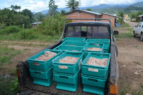Bolivia Organic Heirloom (Beniano) Unroasted Cacao Beans. 2018 Crop. NEW ARRIVAL!